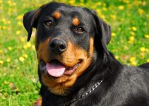 5 Best Dog Shampoos for Rottweilers (Reviews Updated 2021)