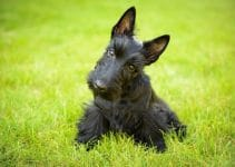 5 Best Dog Shampoos for Scottish Terriers (Reviews Updated 2021)