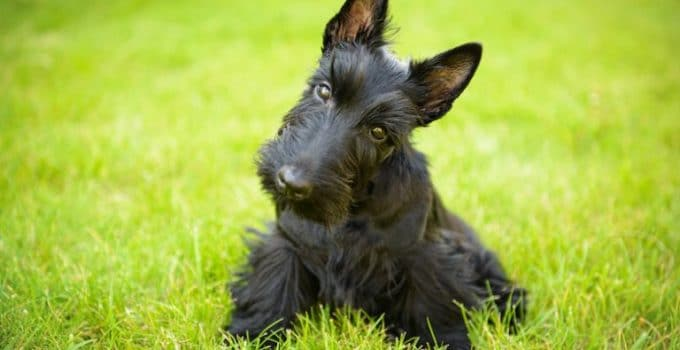 Best Dog Shampoos For Scottish Terriers