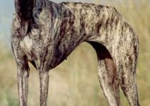 Best Dog Shampoos For Sloughis