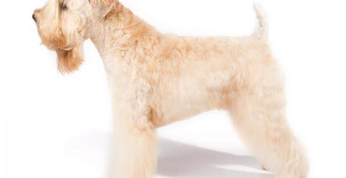 Best Dog Shampoos For Soft Coated Wheaten Terriers