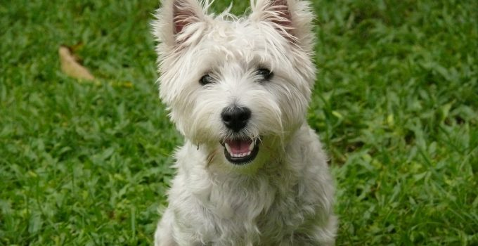 Best Dog Shampoos For West Highland White Terriers