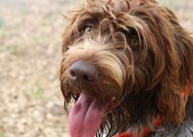 5 Best Dog Shampoos for Wirehaired Pointing Griffons (Reviews Updated 2021)