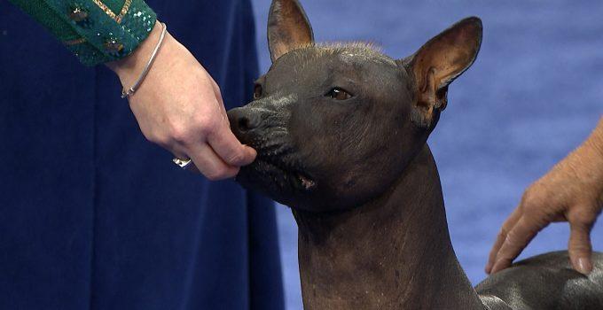 Best Dog Shampoos For Xoloitzcuintlis
