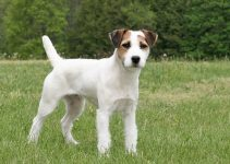 Best Dog Toys For Jack Russell Terriers