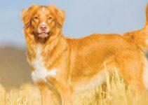 Best Dog Toys For Nova Scotia Duck Tolling Retrievers