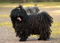 Best Dog Toys For Puli