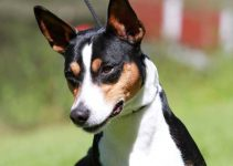 5 Best Dog Toys for Rat Terriers (Reviews Updated 2021)