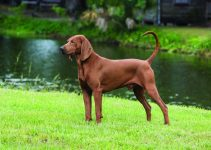 5 Best Dog Toys for Redbone Coonhounds (Reviews Updated 2021)