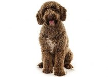 Best Dog Toys For Spanish Water Dogs