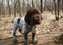 Best Dog Toys For Wirehaired Pointing Griffons