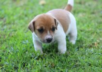 Best Puppy Foods For Jack Russell Terriers