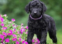5 Best Puppy Foods for Curly Coated Retrievers (Reviews Updated 2021)