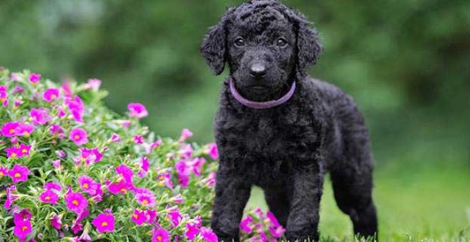 Best Puppy Foods For Curly Coated Retrievers