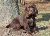 Best Puppy Foods For Field Spaniels