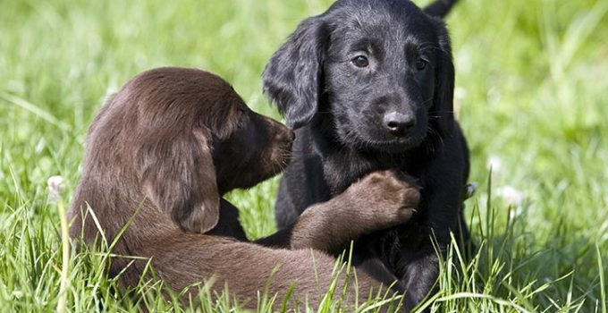 Best Puppy Foods For Flat Coated Retrievers