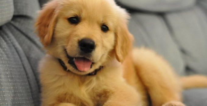 Best Puppy Foods For Golden Retrievers