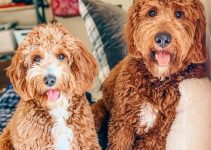5 Best Puppy Foods for Goldendoodles (Reviews Updated 2021)