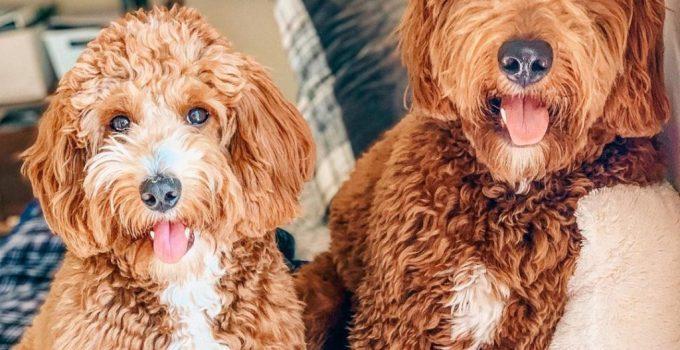 Best Puppy Foods For Goldendoodles
