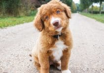 Best Puppy Foods For Nova Scotia Duck Tolling Retrievers