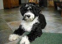 5 Best Puppy Foods for Portuguese Water Dogs (Reviews Updated 2021)