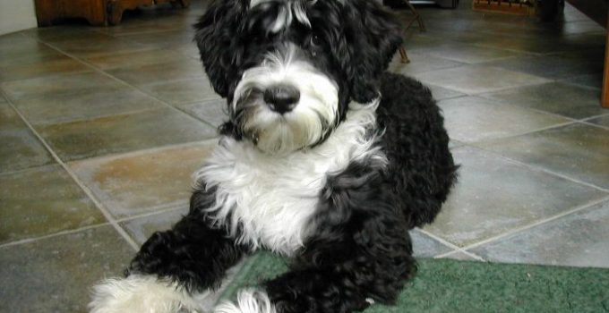 Best Puppy Foods For Portuguese Water Dogs
