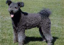 Best Puppy Foods For Pumi
