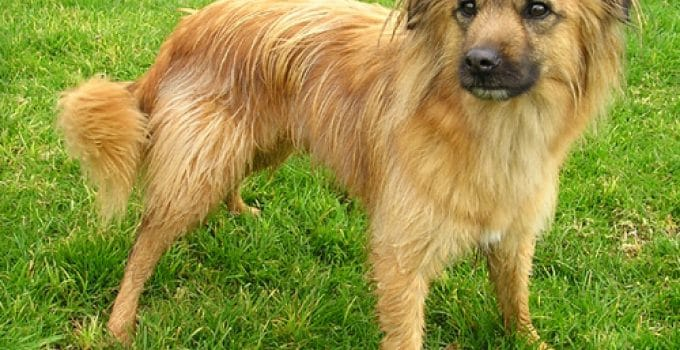 Best Puppy Foods For Pyrenean Shepherds