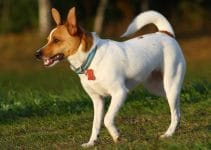5 Best Puppy Foods for Rat Terriers (Reviews Updated 2021)