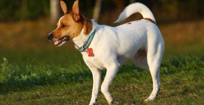 Best Puppy Foods For Rat Terriers
