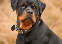 Best Puppy Foods For Rottweilers