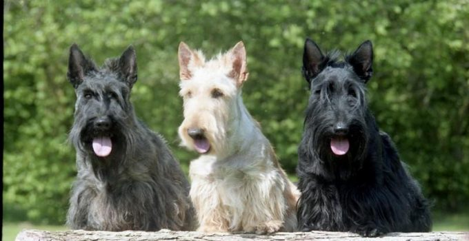 Best Puppy Foods For Scottish Terriers