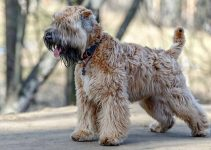 Best Puppy Foods For Soft Coated Wheaten Terriers