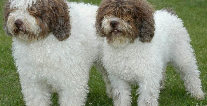 Best Puppy Foods For Spanish Water Dogs