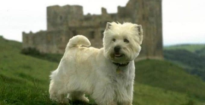 Best Puppy Foods For West Highland White Terriers