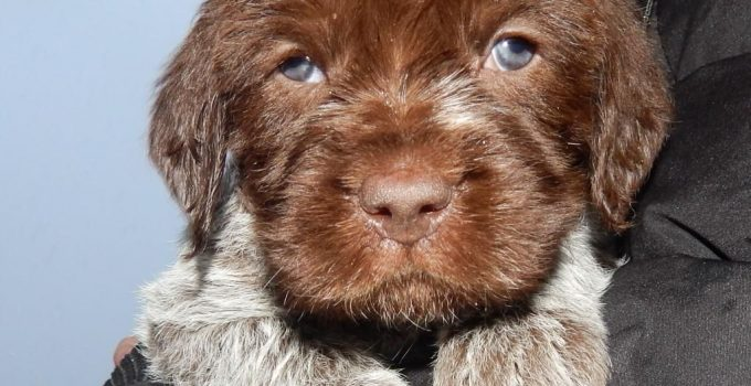 Best Puppy Foods For Wirehaired Pointing Griffons