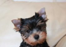 Best Puppy Foods For Yorkshire Terriers