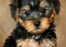 How Long Do Yorkipoos Live
