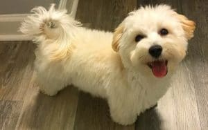 How Much Does A Maltipoo Cost