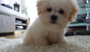 How Much To Feed A Maltipoo