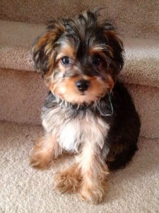 How Much To Feed A Yorkipoo