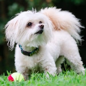 How To Care For A Maltipoo