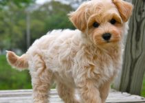How To Get Respect From A Maltipoo?