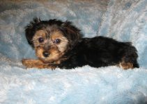 How To Get Respect From A Yorkipoo?