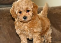 How To Reduce Maltipoo Shedding?