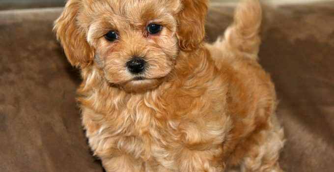 How To Reduce Maltipoo Shedding