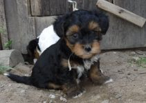 How To Reduce Yorkipoo Shedding?