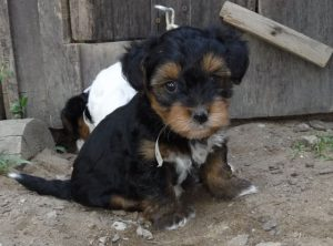 How To Reduce Yorkipoo Shedding
