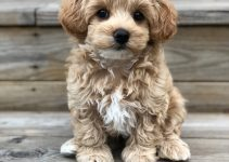 Spay And Neuter Maltipoo – All You Need To Know