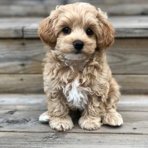 Spay And Neuter Maltipoo